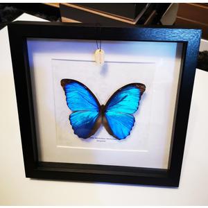 Schmetterling Schaukasten Präparat