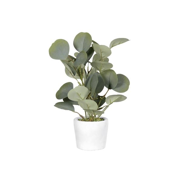 Eukalyptus () - 12 Stück