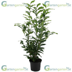 Kirschlorbeer Genolia 100cm aufrechtwachsend für schlanke Hecken