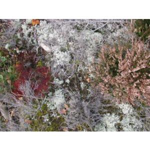 Fursaxa - Mycorrhizae Realm - 1 CD